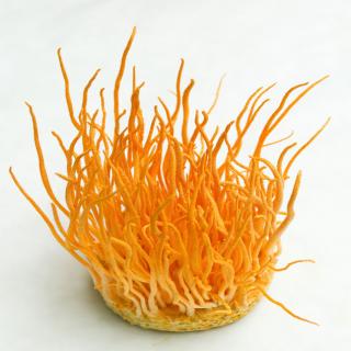 Đông trùng hạ thảo tươi Việt Nam của Viện Bảo Vệ Thực Vật