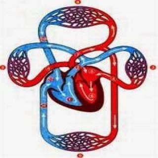 Tác dụng của Đông Trùng Hạ Thảo với hệ tuần hoàn, tim mạch